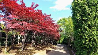 ノムラモミジ(平岡樹芸センター)