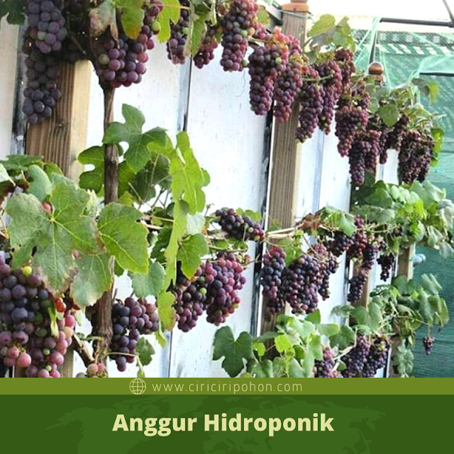 Ciri Ciri Pohon Anggur Hidroponik