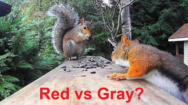 Red Squirrel vs. Gray Squirrel