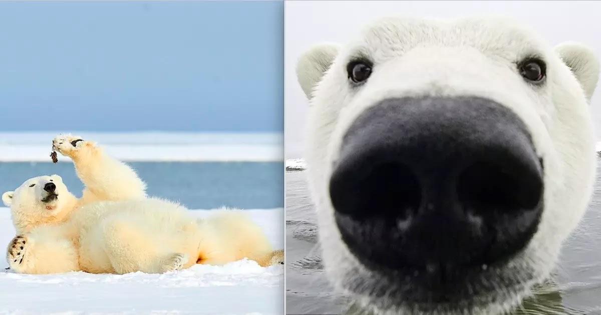 Curious Polar Bear Swims Up Close To Brave Photographer At Alaskan Nature Reserve