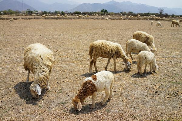 Độc đáo mô hình chăn nuôi cừu ở Ninh Thuận