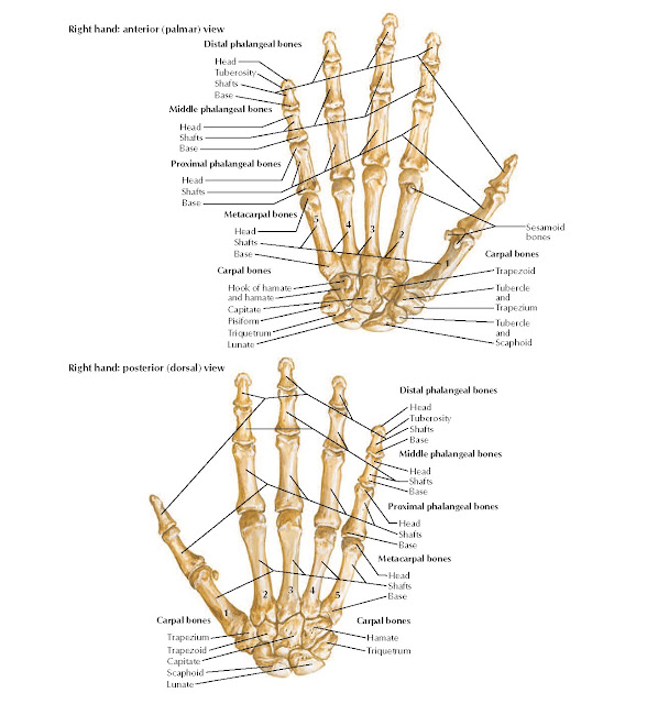 Bones of Wrist and Hand Anatomy