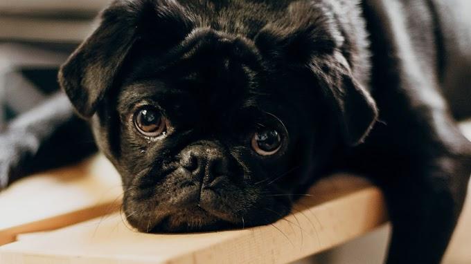 Papel de Parede Hd Cachorrinho Pug