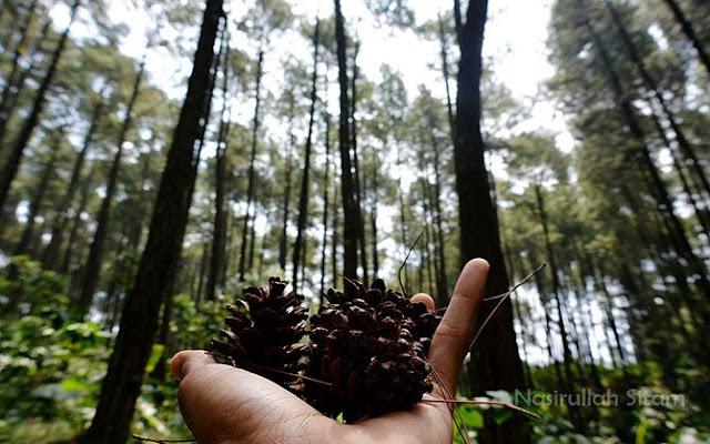 Menggenggam Biji Pinus yang berjatuhan