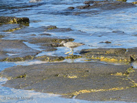 Wandering Tattler along shoreline – Kaloko Konokohau National Historical Park – Big Island, HI – © Denise Motard