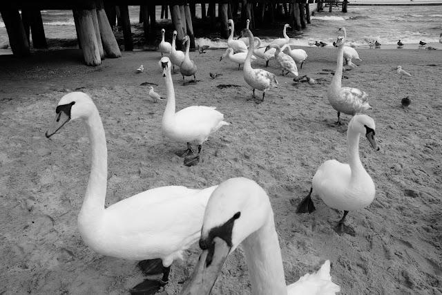 Łabędzie pod sopockim molo. Fotografia krajobrazu nadmorskiego. fot. Łukasz Cyrus