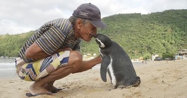 Αυτός ο πιγκουίνος κολυμπά 8.000 χιλιόμετρα κάθε χρόνο για να δει τον άνδρα που του έσωσε τη ζωή