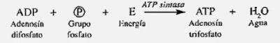 Adenosín trifosfato (ATP)