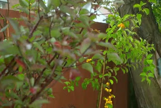 Frances plants a Crab-Apple Malus, a cherry Prunus and a Rowan tree