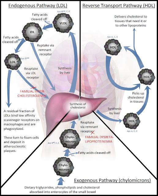patofisiologi lipoprotein dislipidemia, jalur endogenous, jalur eksogenous, Reverse Transport Pathway, HDL, LDL, Kolesterol, trigliserida, trigliserid, biokimia, kedokteran, laboratorium, kilomikron, fosfolipid