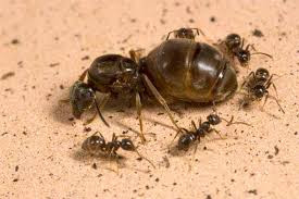 The Amazing Of Benefits Black Ant For Human - Healthy T1ps