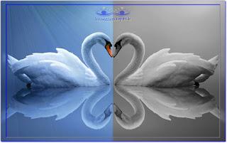 Łabędzie — miłość bezgraniczna