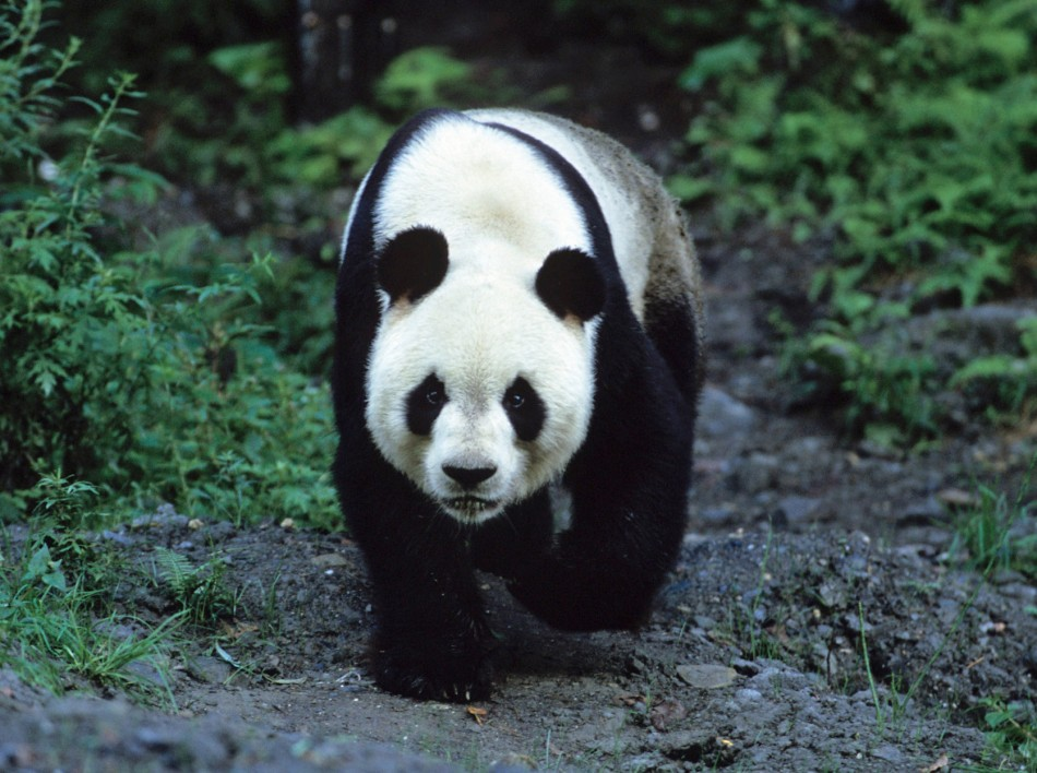 Giant Panda Animal Facts And Pictures