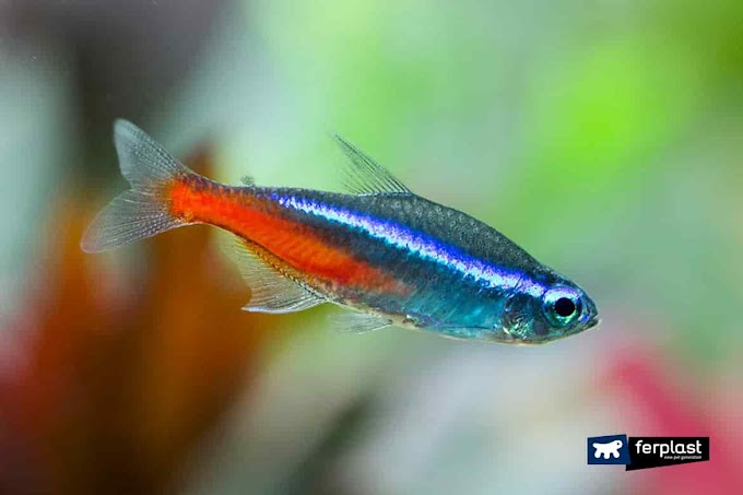 Neon Tetra fish in iIndia