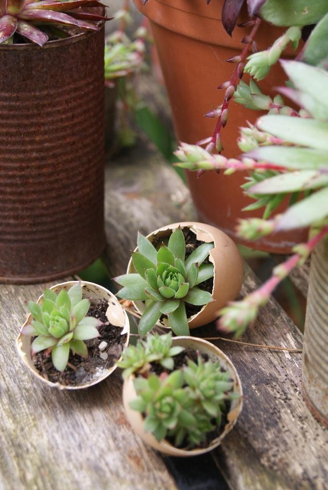 Semperviven in Eierschalen gepflanzt