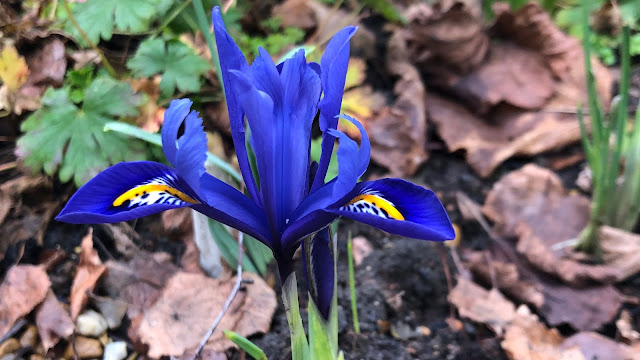 Deep blue and yellow dwarf Iris reticulata