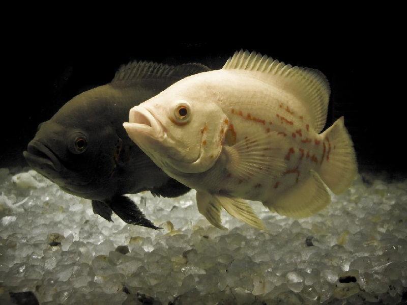 Gambar Kawin Silang Dalam Cara Budidaya Ikan Oscar Agar Berhasil