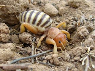 A Jerusalem Cricket in the dirt.