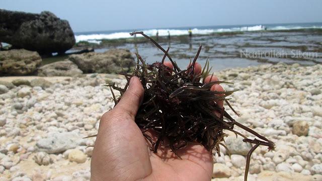 Rumput Laut di pantai Ngunggah