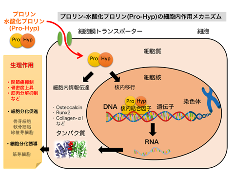 細胞分化誘導の仕組み