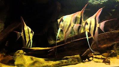 Angelfish atau Manfish Asal Amazon