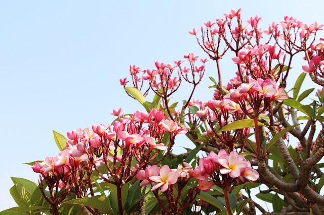 Pink flowers, Phnom Penh, Cambodia - travel blog