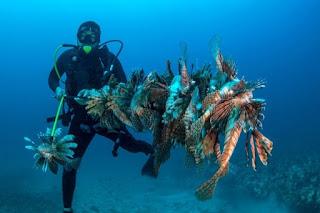 Mengenal Lionfish, Ikan Perusak Ekosistem Terumbu Karang