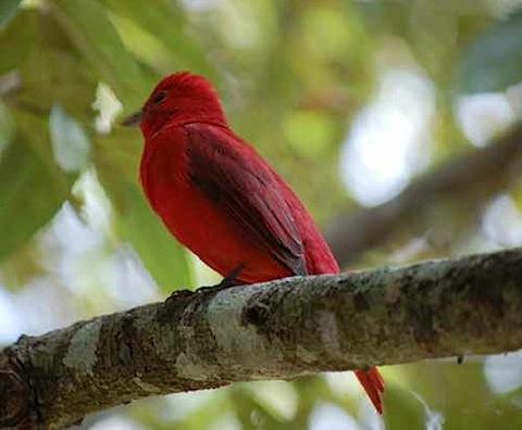 Birds Summer Tanager