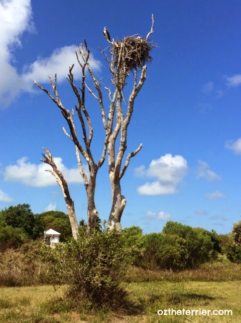 Ospreys nesting at Everglades National Park