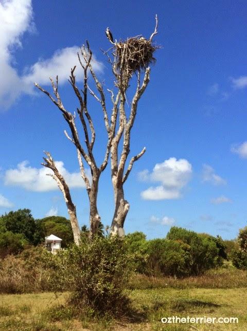 Ospreys nesting at Everglades National Park