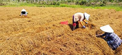 Người dân thu hoạch nấm rơm phấn khởi vì giá bán cao