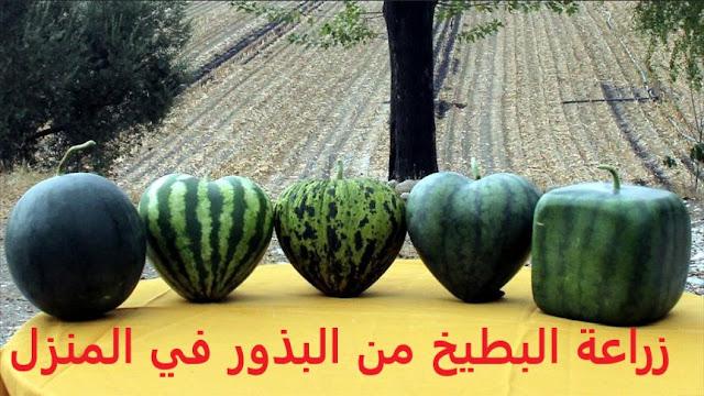 زراعة البطيخ watermelon من البذور في المنزل