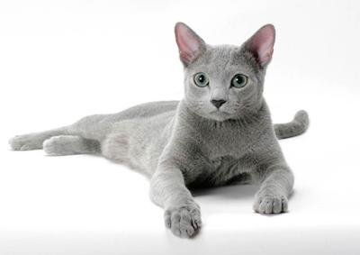 Jenis Ras Kucing Russian Blue
