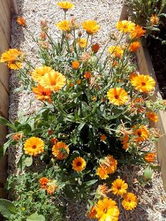 plant de soucis en fleur