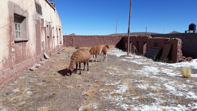 Selbst auf dem Gelände der Missionsstation fühlen sich diese Hochlandtiere sehr wohl. Wichtig ist, dass die Lamas immer etwas zum Fressen haben. Nun haben Wissenschaftler festgestellt, dass sie in der Lage sind, Antikörper recht schnell zu produzieren, wenn sie ein Virus oder Bakterien befallen. Sie sind also immun gegen das Corona Virus. Genau da setzt nun die Wissenschaft an. Unsere Hochlandindios wussten das schon länger und haben jetzt sogar vorgeschlagen, warmes Blut der Lamas zu trinken. Nun, ich habe es noch nicht ausprobiert, aber vielleicht enthält ja auch der Lamabraten Antikörper, den wir uns ja öfters hier schmecken lassen. Auf jeden Fall hat in unserer Andenregion das Virus bislang keinem Schaden zugefügt. Seit ich von diesen Forschungen gehört habe, freue ich mich noch mehr, wenn ich diese lieben Tiere im Gebirge sehen.