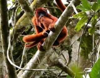 Scimmia urlatrice