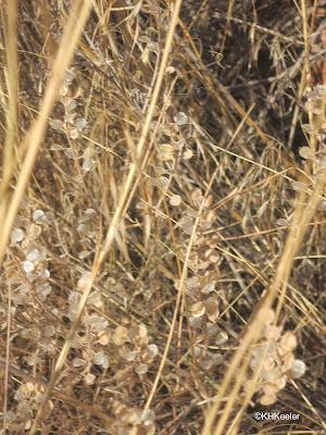 alyssum, Alyssum simplex, brown fruit