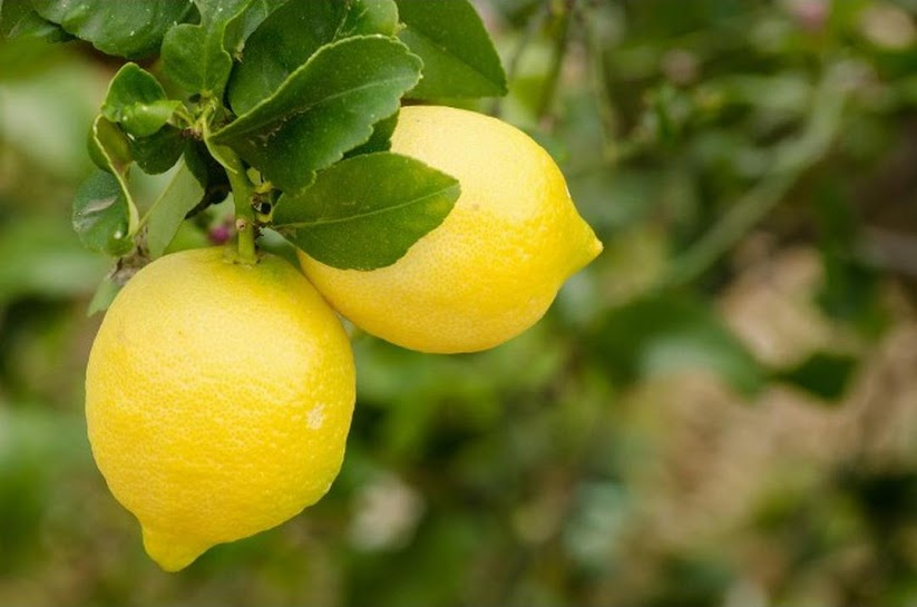Bibit Tanaman Buah Jeruk Lemon Australia Lemon Unggul okulasi cepat berbuah Lemon Import Denpasar
