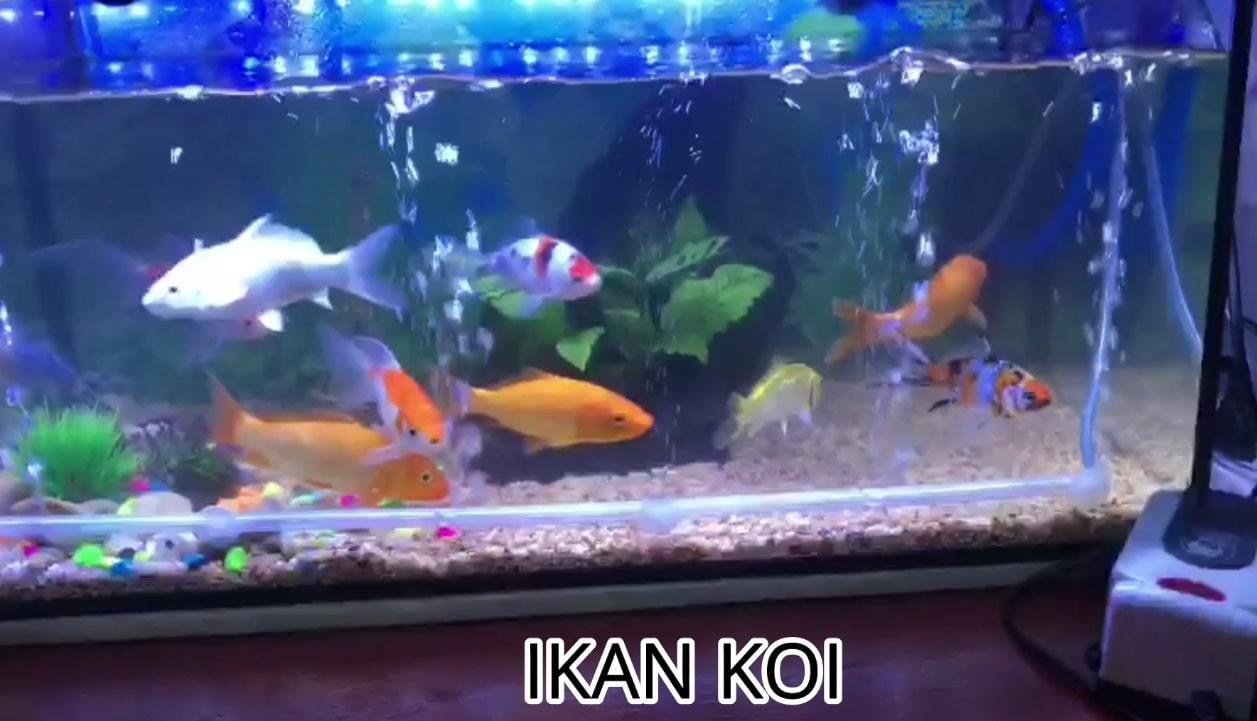 harga akuarium ikan laga guppy ikan hiasan koi