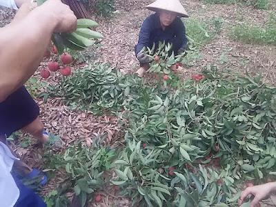 ベトナム バクザン省でライチ狩り