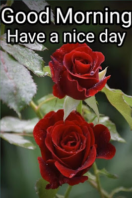 Good Morning Rose Images, Good Morning Red Rose Images, Rose Flower Good Morning Images,  good morning images with rose flowers, Good Morning Roses Pictures,  good morning rose images download, Good Morning Romantic Rose, Good Morning Rose Love, Good Morning Yellow, Pink, White Rose