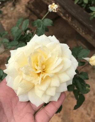 Hoa hồng 2