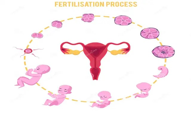 Fertilization Process: From The Ovum To  Baby