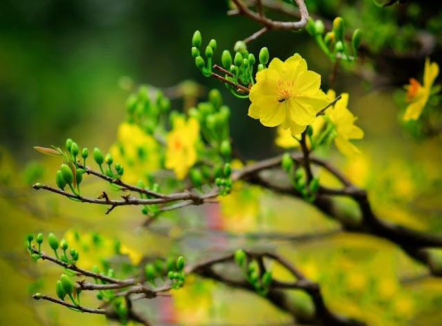 hoa mai