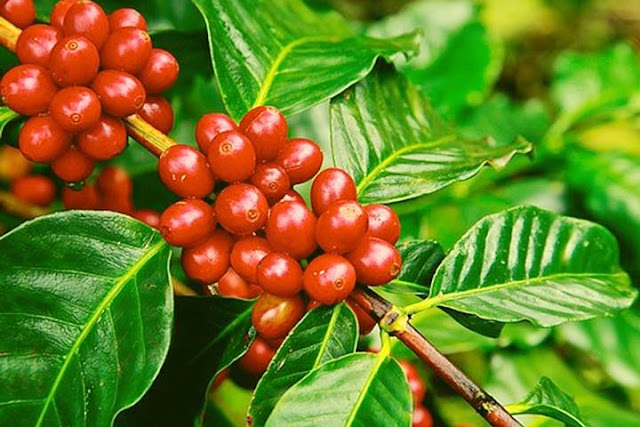 Giá cà phê hôm nay 29/4: Dao động trong khoảng 33.000 – 33.900 đồng/kg