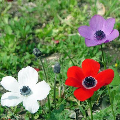 زهور شقائق النعمان