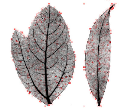 Leaf mysteries revealed through the computer's eye