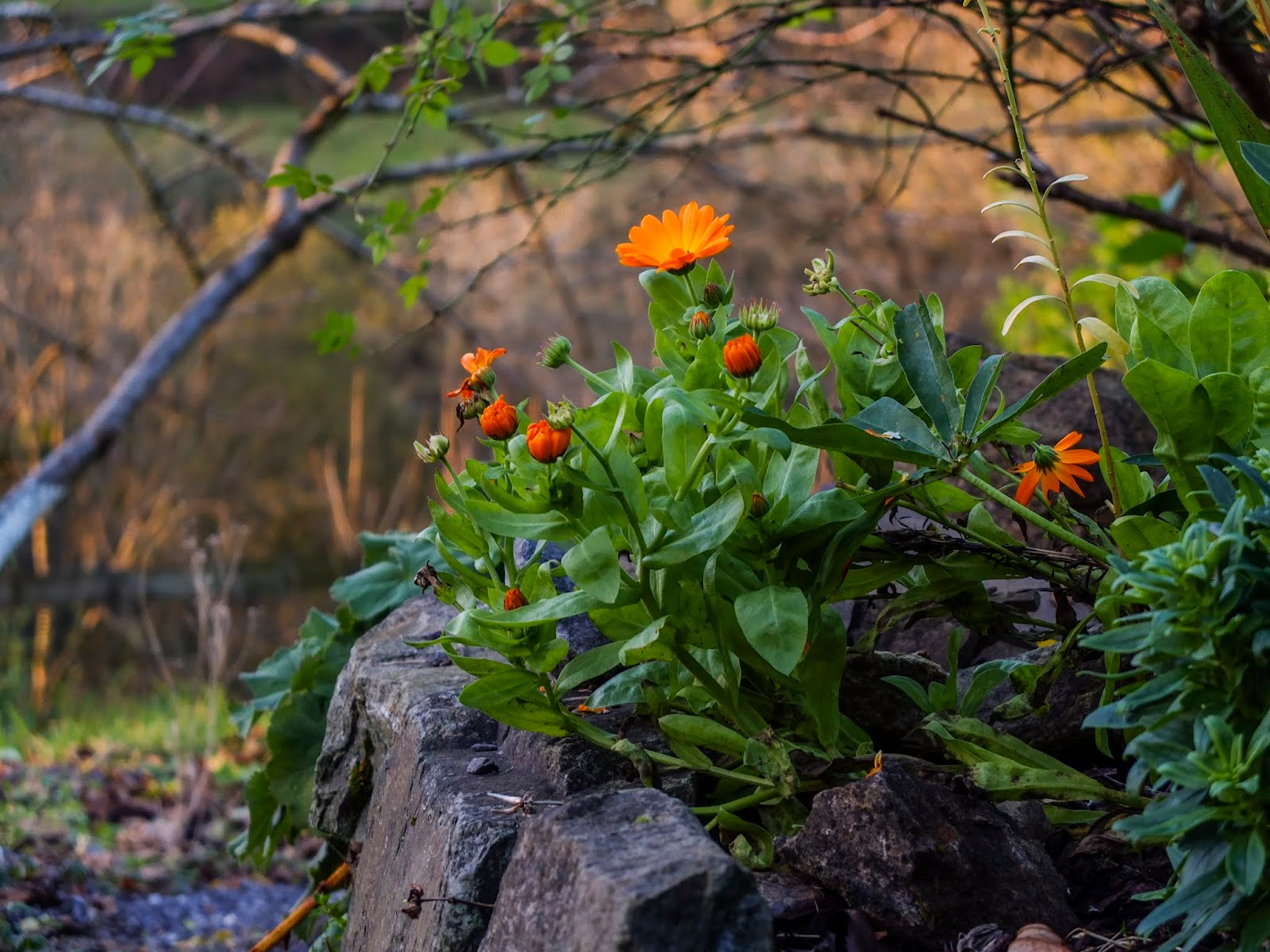 Orange Calendula flowers in a rockery at sunset.