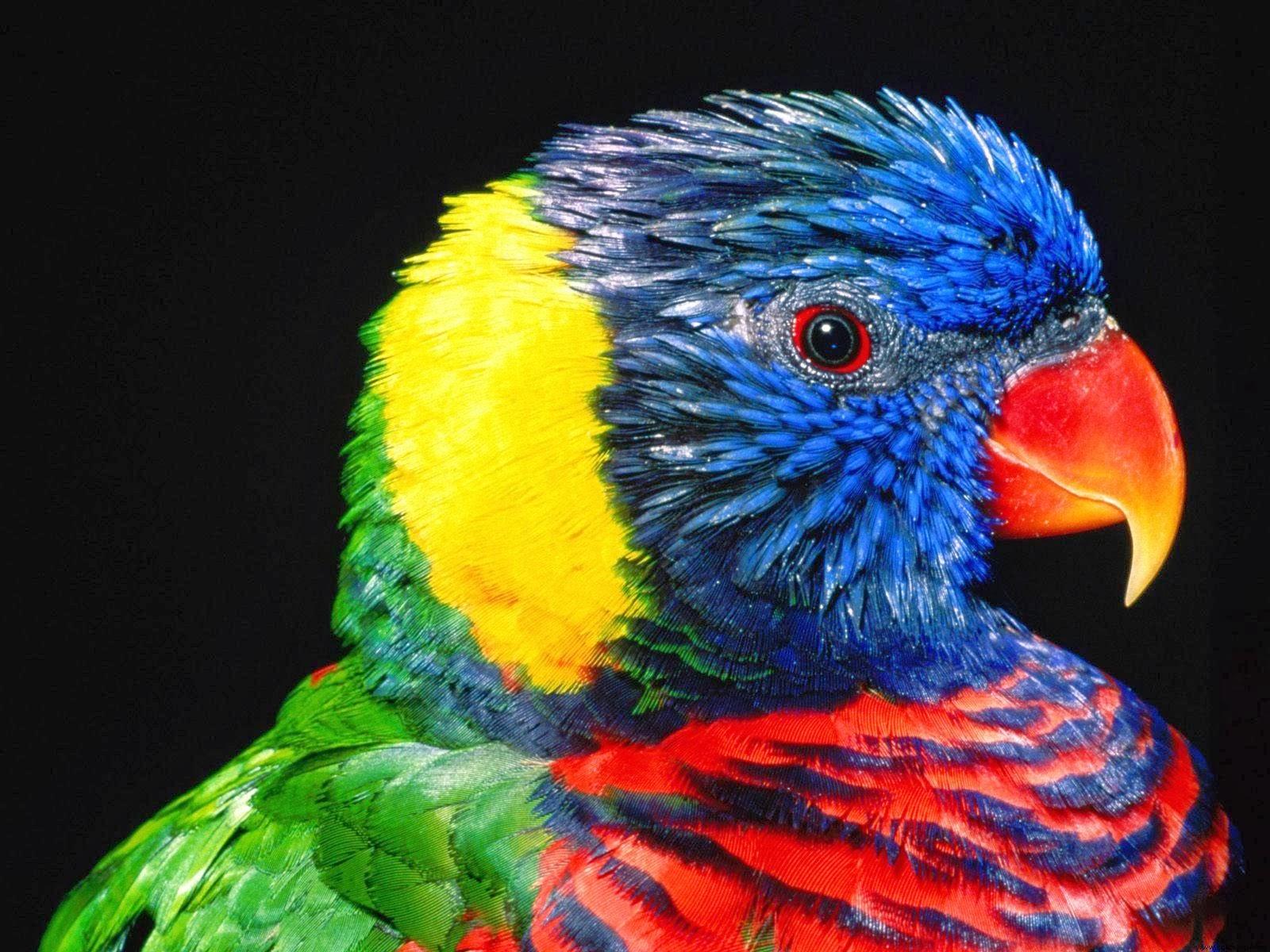 A Beautiful Couple Of Lorikeet Birds Wallpaper Hd: Lorikeet Bird