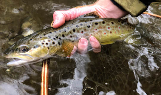 Big brown trout spots